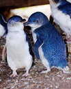 Wild Little Penguin Stock Photo - 9841250