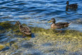 A Family Of Ducks Stock Photo - 98403390