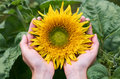The Girl With Her Hands Hugs The Sunny Sunflower. The Concept Of Domestic Cultivation, Unity With Nature, The Gifts Of Nature Royalty Free Stock Image - 98466296