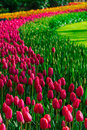 Tulip Field Adnd Old Mills In Netherland Royalty Free Stock Image - 98473366