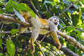 Squirrel Monkey In A Branch In Costa Rica Royalty Free Stock Images - 98477359