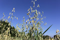 Spikelets Of Oats, Oats Field And Blue Sky Royalty Free Stock Image - 98490386