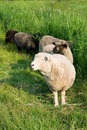 Sheep Stock Images - 9856474