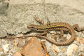 A Beautiful Wall Lizard Podarcis Muralis Warming Up On A Stone Wall. Royalty Free Stock Photo - 98513585