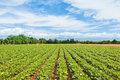 Agricultural Landscape. Field Of Soy. Royalty Free Stock Image - 98518426