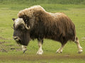 Strolling Musk Ox Stock Images - 98550934
