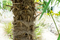 Trachycarpus Fortunei Windmill Plant Weed Palm From China Stock Photo - 98552710