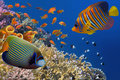 Yellow Tube Sponges In Red Sea Royalty Free Stock Photography - 98557127