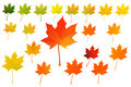 Colored Autumn Maple Leaf Set Vector Drawing Stock Image - 98630121