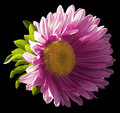 Garden Pink Flower On The Black Isolated Background With Clipping Path. Nature. Closeup No Shadows, Royalty Free Stock Image - 98659466