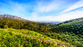 Olive Groves And Vineyards Surrounded By Mountains Along The Helshoogte Road Royalty Free Stock Photo - 98683135