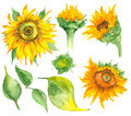 Watercolor Hand Drawn Sunflowers Stock Photography - 98726142