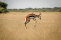Springbok Pronking In The Grass. Royalty Free Stock Photo - 98751955
