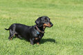 Black And Tan Smooth-haired Miniature Dachshund In Field Royalty Free Stock Images - 98755059