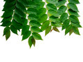 Frame With Bunch Of  Green Star Gooseberry Leafs Isolated On Whi Stock Image - 98759781
