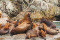 Steller`s Sea Lions, Kenai Fjords National Park, Alaska. Royalty Free Stock Images - 98768609