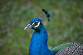 Indian Peafowl Pavo Cristatus Stock Image - 98778501