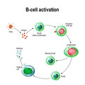Activation Of B-cell Leukocytes Royalty Free Stock Photography - 98809547