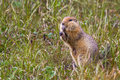 Arctic Ground Squirrel Stock Photography - 98824622