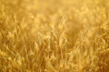 Ripening Ears Of Yellow Wheat Field On The Sunset. Stock Photos - 98886753