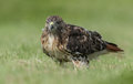 Red Tailed Hawk Royalty Free Stock Photos - 98897828