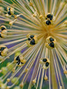 Seed Cases Of Allium Royalty Free Stock Photo - 9890265