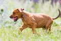 Rhodesian Ridgeback Puppy Walking On The Meadow Stock Photos - 98912123