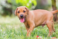 Portrait Of A Rhodesian Ridgeback Puppy Royalty Free Stock Photo - 98912285