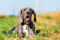 Great Dane Puppy Lying On A Country Path Stock Photography - 98933642