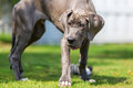 Great Dane Puppy Stands In The Garden Royalty Free Stock Image - 98939106