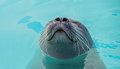 Cute Seal Royalty Free Stock Image - 98940936