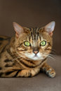 Cat Portrait Close Up Royalty Free Stock Images - 98984469