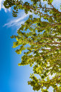 Tree Branch Against Blue Summer Air Stock Photo - 98985120