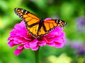Butterfly On A Flower Royalty Free Stock Photography - 99051337