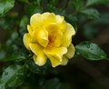 Blossom Of A Yellow Rose With Water Drops Stock Photos - 99051873