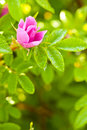 Wild Dog Rose Bud Macro Stock Photos - 9915683