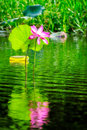 Large Pink Lotus Flower Reflected In The Water At Corroboree Wetlands, NT, Australia Stock Image - 99104141