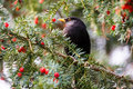 Blackbird Foraging On Red Berries Stock Photography - 99108032
