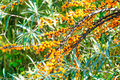 Sea Buckthorn Stock Photography - 99144812