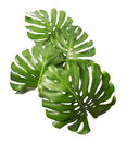 Monstera Deliciosa Leaf Isolated On White Background Stock Images - 99159284