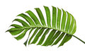 Monstera Deliciosa Leaf Or Swiss Cheese Plant, Isolated On White Background Royalty Free Stock Photography - 99167457