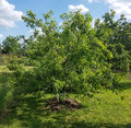 Orchard Greenery With A Peach Tree Stock Image - 99181031