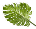 Monstera Deliciosa Leaf Or Swiss Cheese Plant, Isolated On White Background Stock Image - 99183931