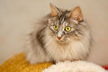 Cat With Yellow Eyes Stock Images - 99184034