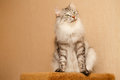 Fluffy Cat Royalty Free Stock Images - 99184039