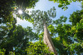 Big Tree : Looking Up Large Tree Remaining In The Wild Today. Stock Images - 99192794