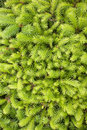 Fir-needles Background Stock Image - 9926381