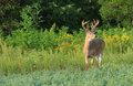 Whitetail Deer Buck With Velvet Antlers Stock Images - 99245014