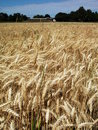 Gold Wheat Field Royalty Free Stock Image - 9936226