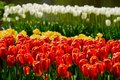 Blooming Tulips Flowerbed In Keukenhof Flower Garden, Netherland Royalty Free Stock Image - 99313986